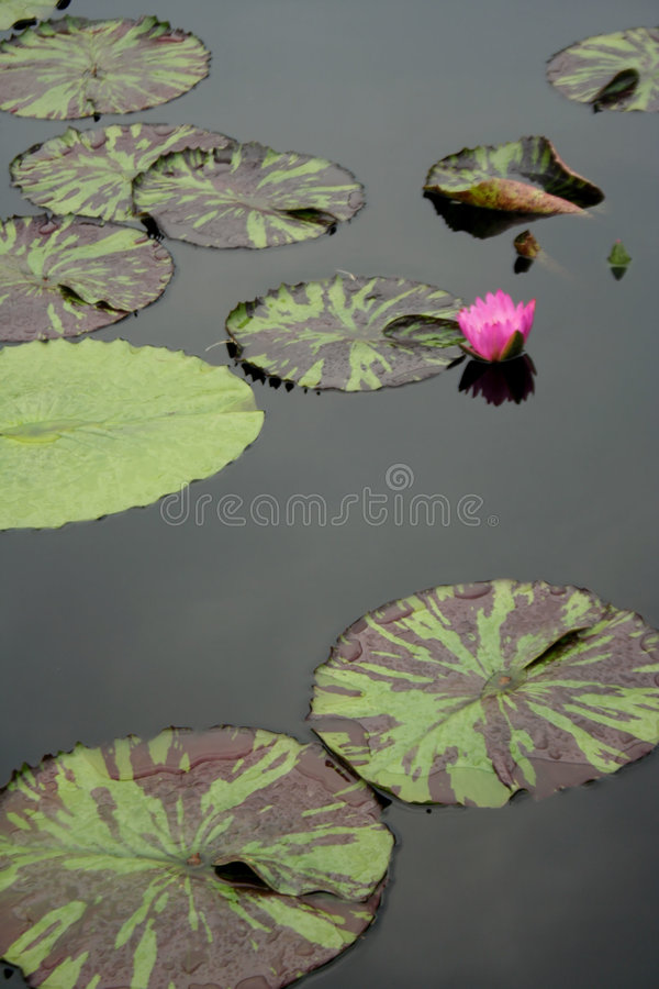 Lily Pads in Still Water. A small pink lotus flower reflecting in still water, surrounded by mixed green and brown lily pads stock photography
