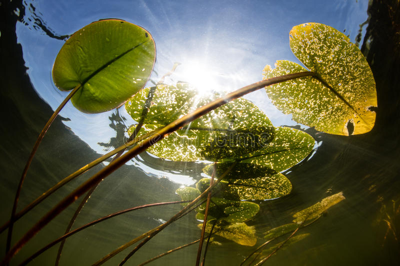 Lily Pads and Sunlight in Lake. Bright sunlight filters through a canopy of lily pads growing in a freshwater lake in New England. Aquatic plants provide habitat royalty free stock photography