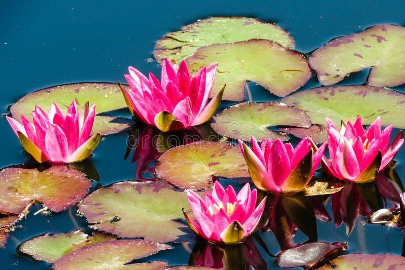 Lily Pads und Blumen bei Denver Botanical Garden lizenzfreie stockbilder