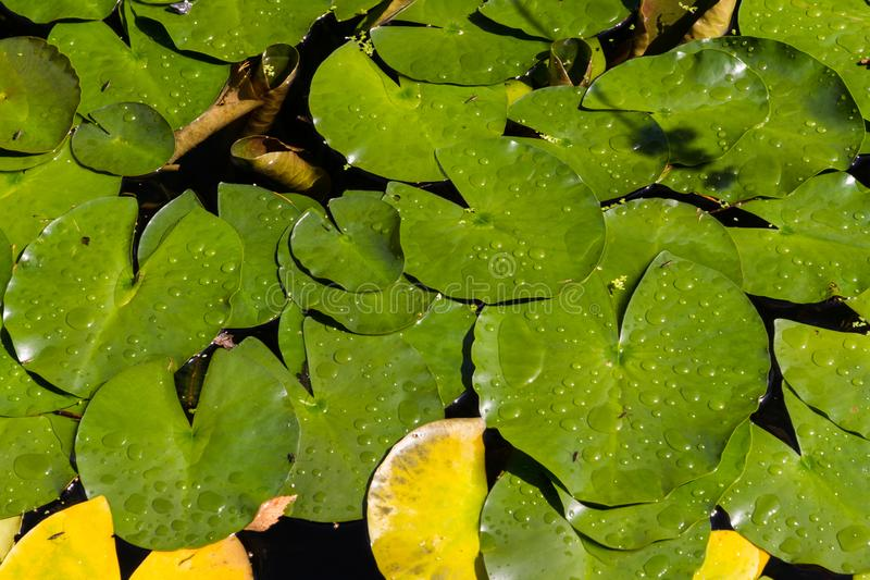 Lily Pads on water. Lily pads, or water lilies or Nymphaeaceae on water stock images