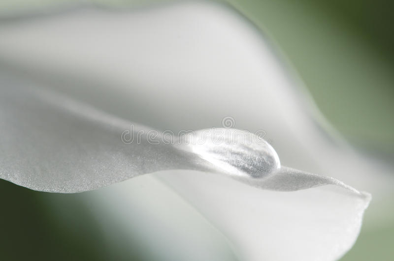 Lily petal with a water drop. Amazon Lily petal with a water drop royalty free stock images