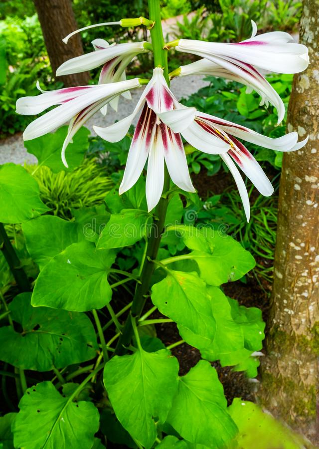 Lily Plant Green Leaves himalayana gigante fotografie stock