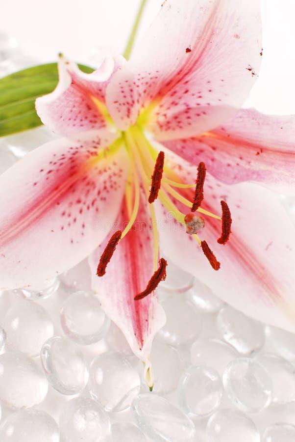 Download Lily Pollen stock image. Image of flower, gardening, bloom - 23613081