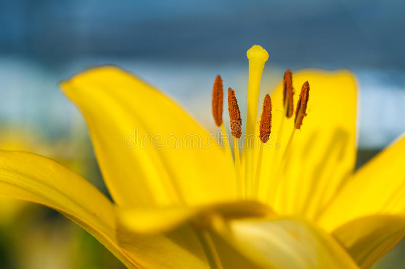 Download Lily Pollen Stock Photo - Image: 29096870