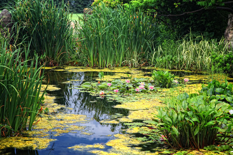 Lily Pond royalty free stock photography