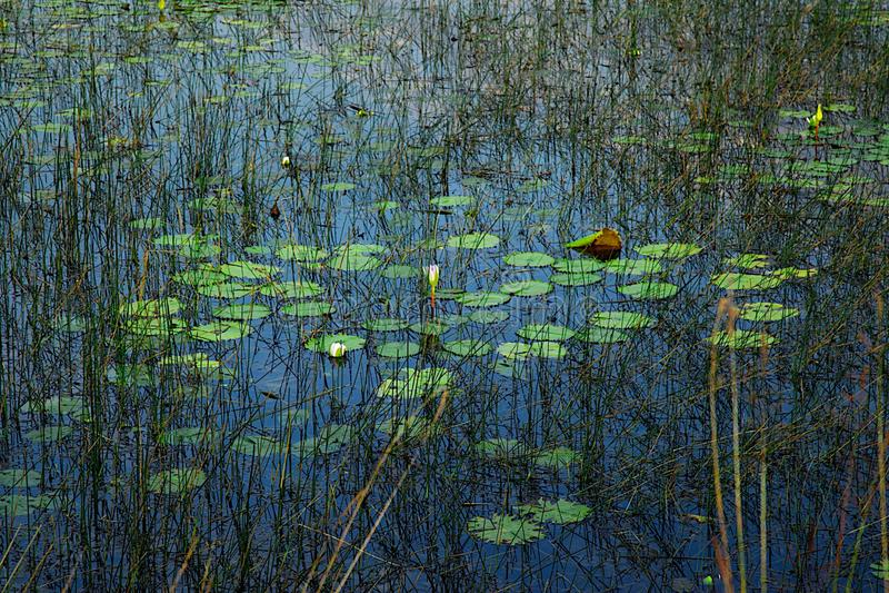 Lily Pond con la riflessione viva del cielo blu ed i colori verdi fotografie stock