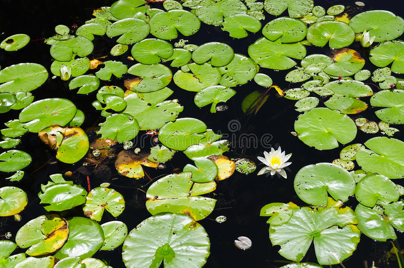 Lily Pond Connecticut arkivbilder