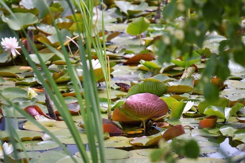 Lily Pond i blom fotografering för bildbyråer
