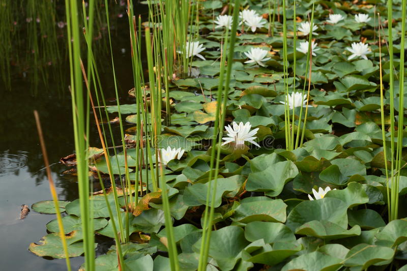 Lily Pond With Lotus Flowers imagens de stock