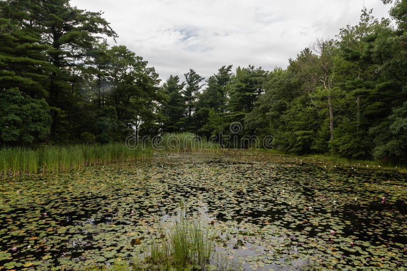 Lily pond at the Mohonk Preserve in the summer stock image