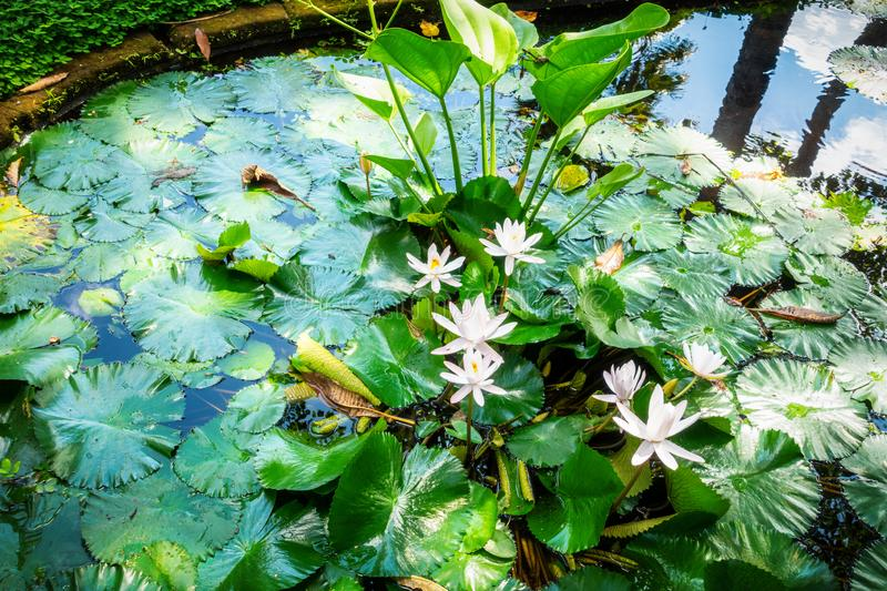 Lily pond with white water lilies. An image of a lily pond with white water lilies royalty free stock photo