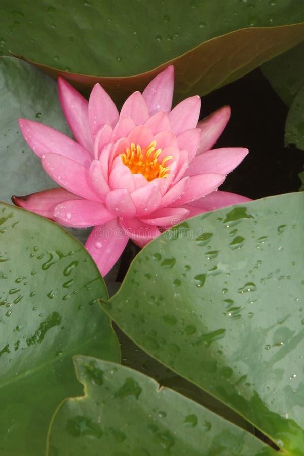 lily różowy staw fotografia stock