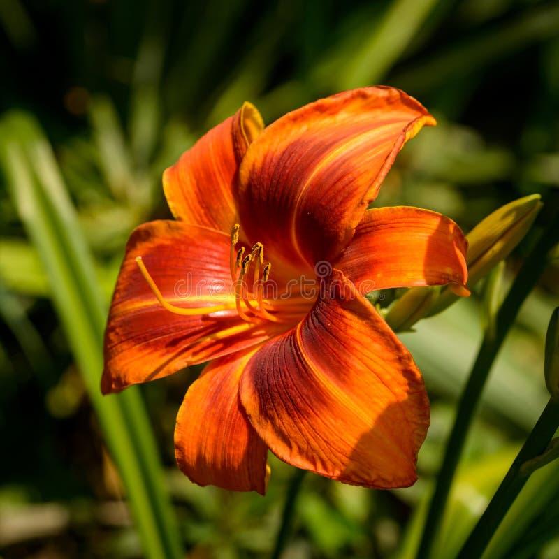 Lily stock photos