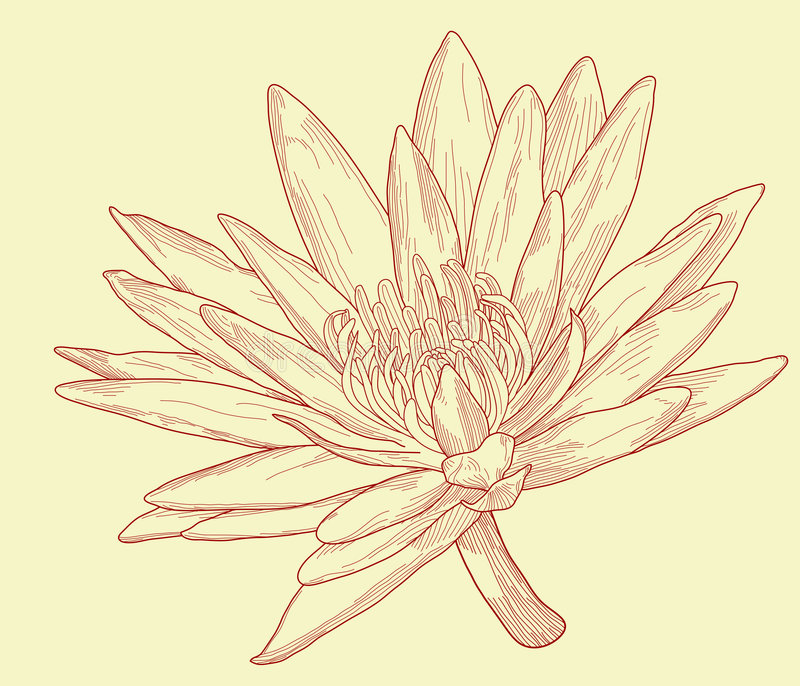 Lily Sketch Stock Photo