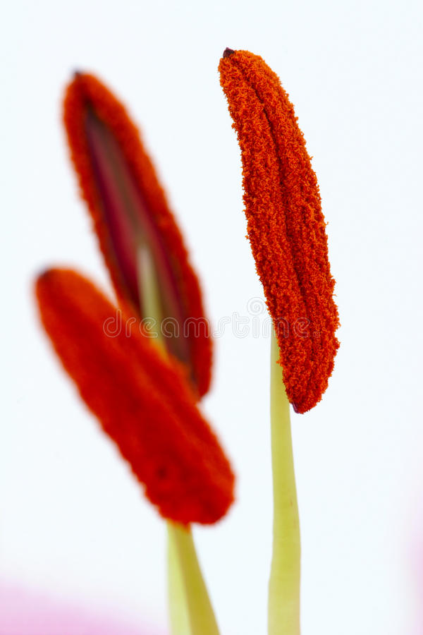 Download Lily stamen stock image. Image of lily, colorful, stamen - 11221525