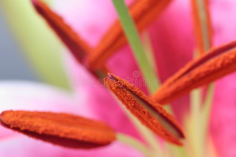 lily stamen gigantyczny obrazy stock