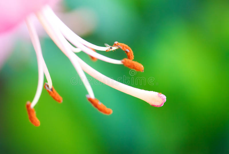 Download Lily Stamen Macro stock image. Image of fragility, floral - 25108743