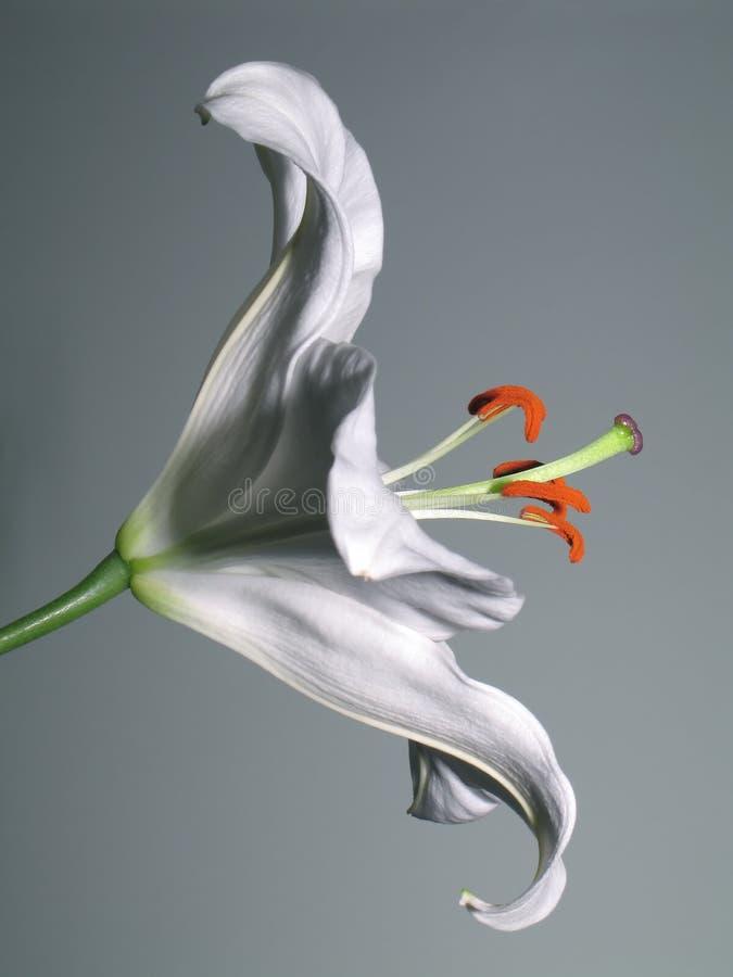 Download Lily stargazer zdjęcie stock. Obraz złożonej z płatek, biały - 39188