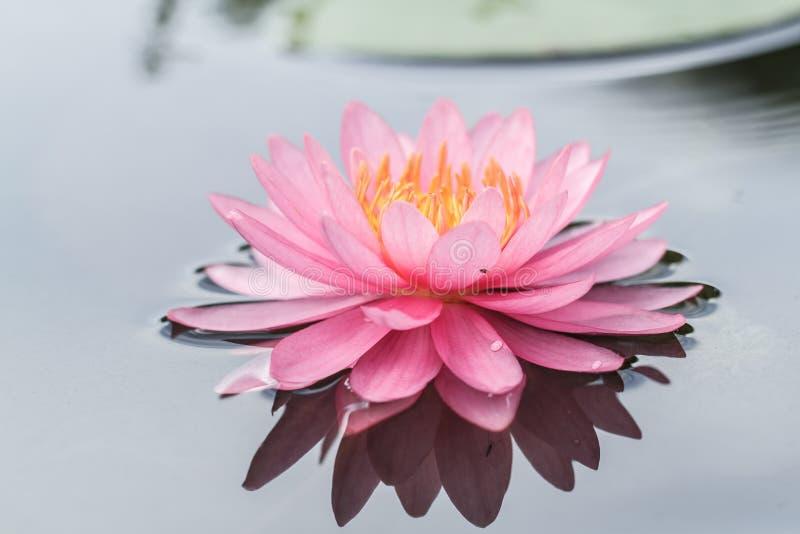 lily stawu różowa woda zdjęcie stock