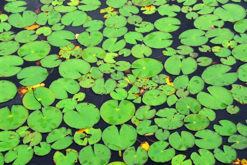 lily tła strażników zdjęcia stock