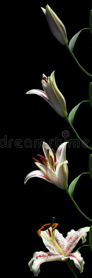 Download Lily Time-lapse Series stock image. Image of lilium, concept - 28449369
