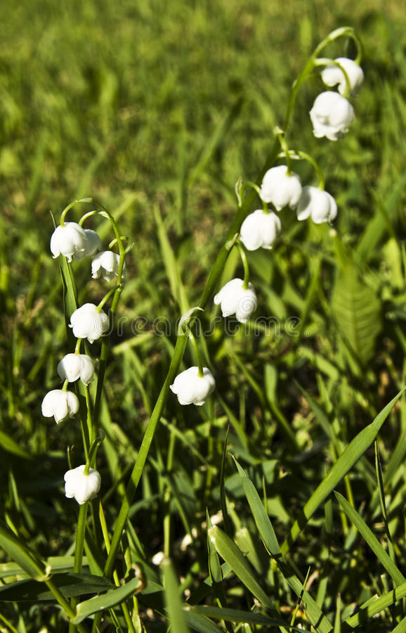 Download Lily of the valey stock image. Image of white, wild, blossom - 16302409