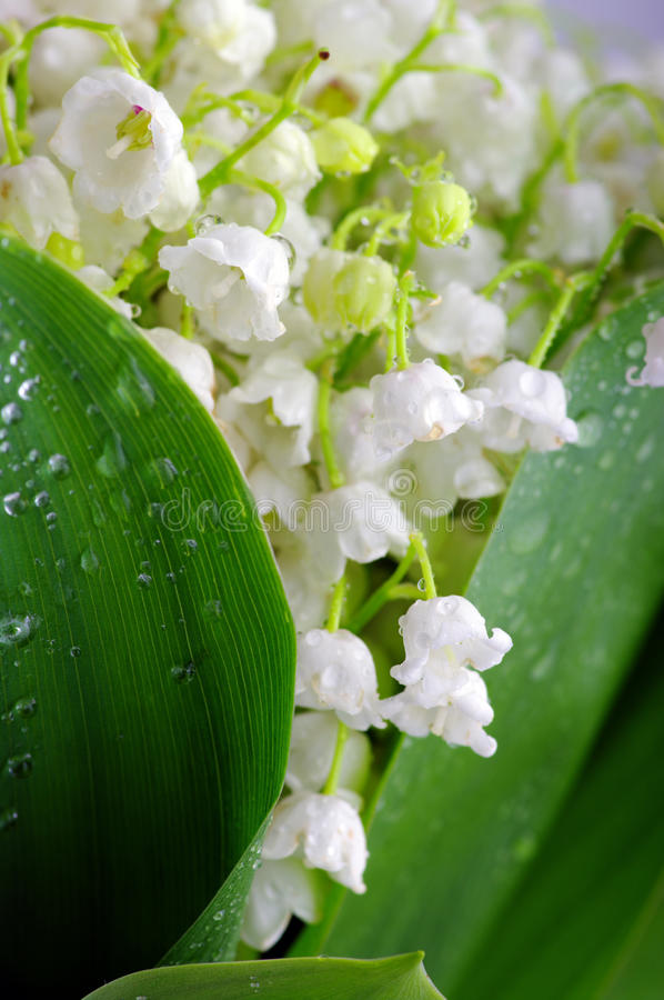 Lily-of-the-valley stock images