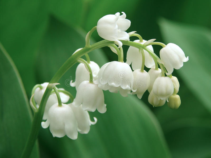 Lily of the valley stock photography