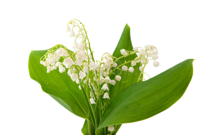 Download Lily of the valley stock image. Image of delicate, leaves - 22378955
