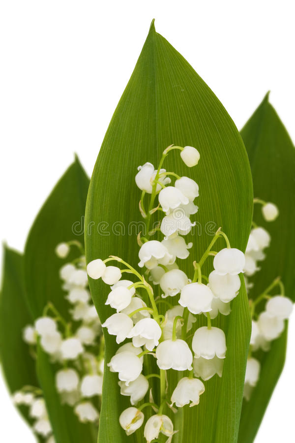 Download Lily-of-the-valley stock photo. Image of isolated, fragile - 23042350
