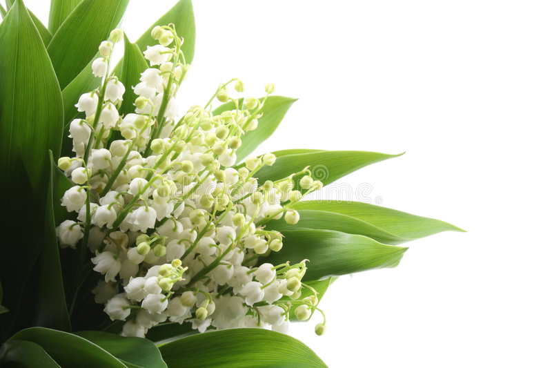 Download Lily Of The Valley Royalty Free Stock Photos - Image: 2443308