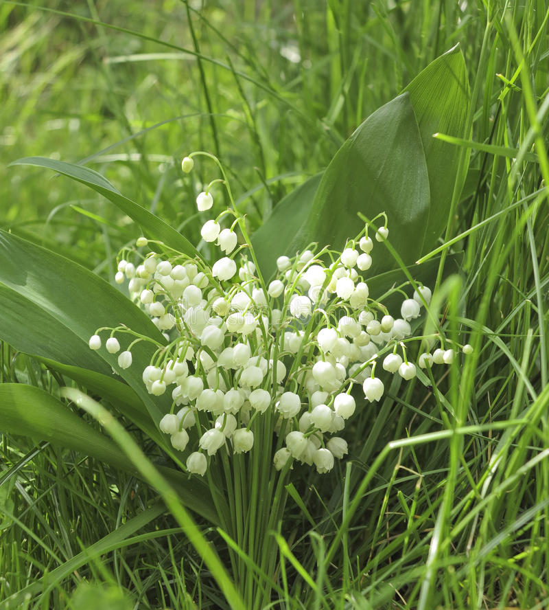 Download Lily of the valley stock image. Image of botanical, convallaria - 24752359