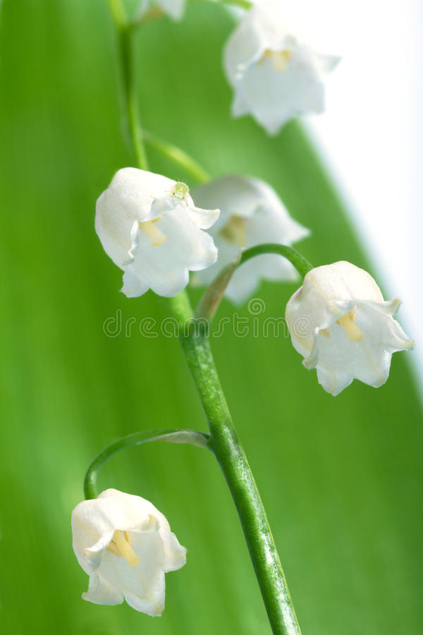 Lily-of-the-valley Lizenzfreies Stockfoto