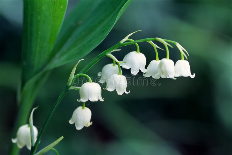 Download Lily of the valley stock photo. Image of bloom, detail - 4717292