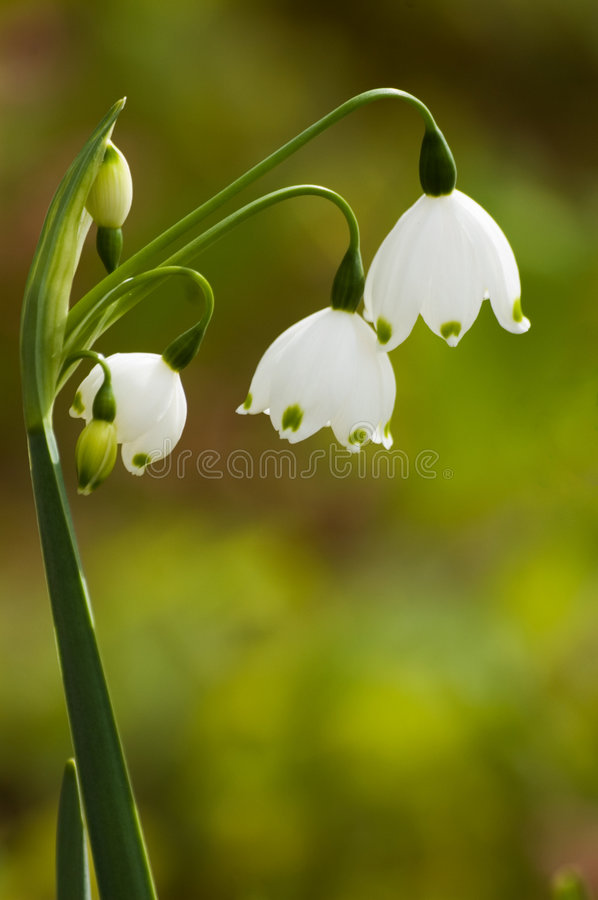 Lily of the Valley. Convallaria Majalis - White