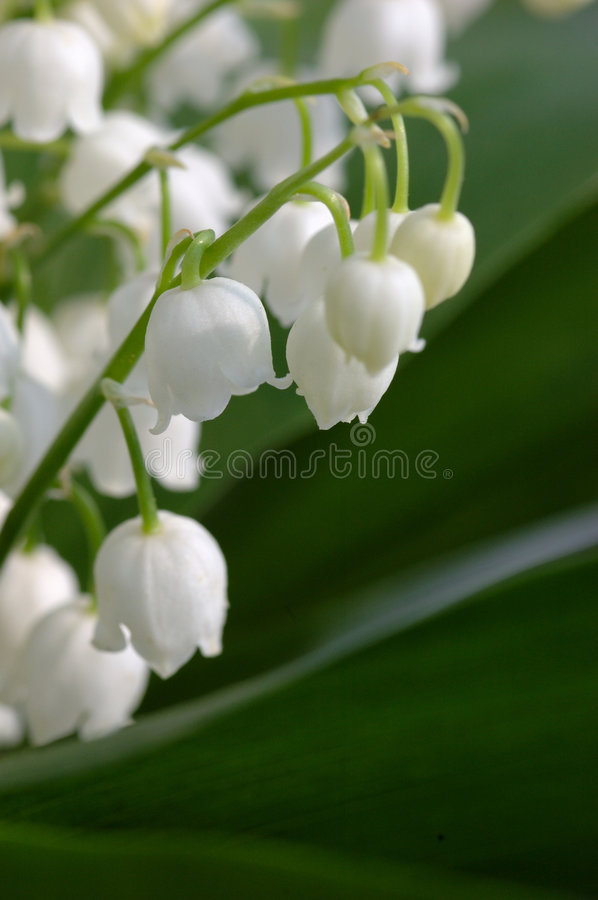 Download Lily Of The Valley Stock Photo - Image: 769270