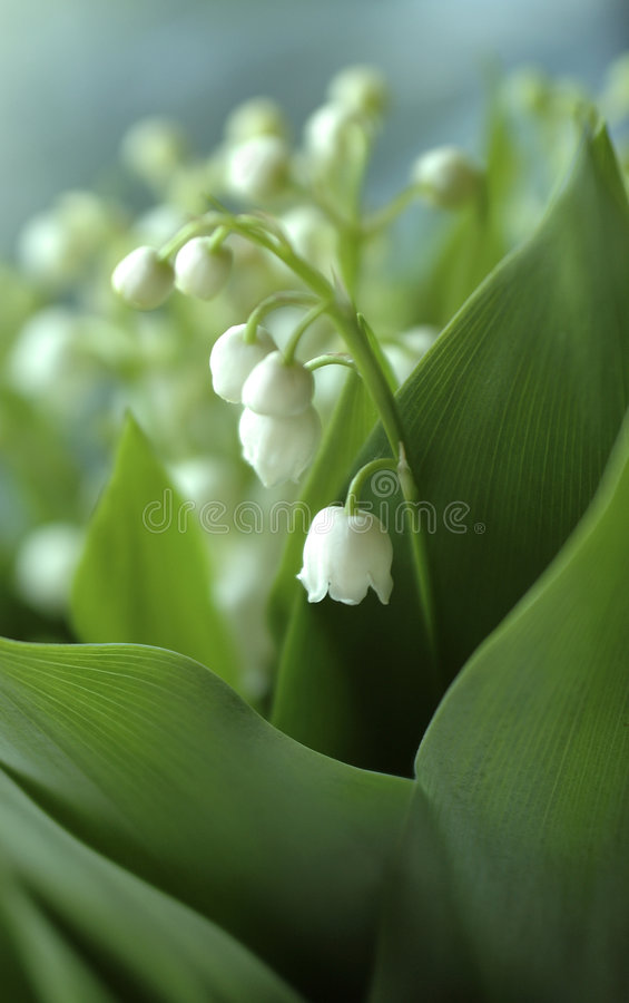 Download Lily-of-the-valley Close-up Stock Photo - Image: 2416138