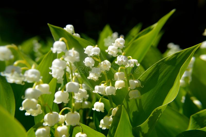 Download Lily Of The Valley Convallaria Majalis Stock Image - Image of many, bulb: 104289499