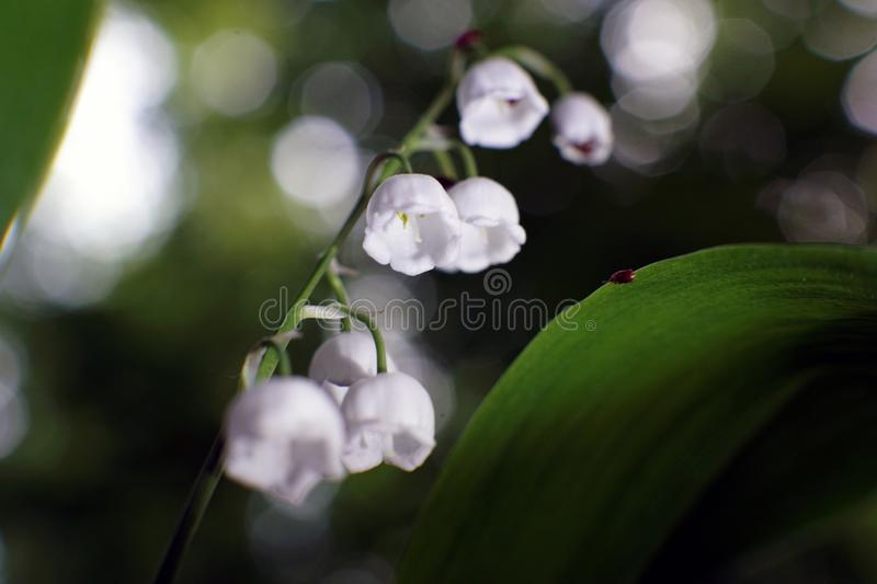 Lily of the valley, Convallaria majalis, macro among the green leaves stock image
