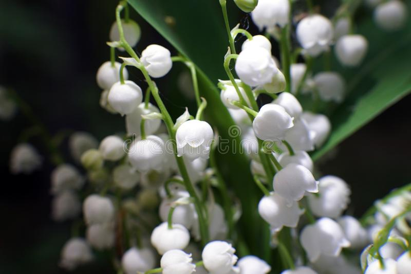 Lily of the valley, Convallaria majalis, macro among the green leaves stock photos