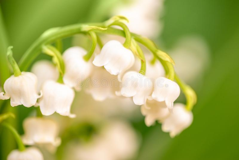 Lily of the valley flower close up, green nature background.  May Day symbol. Lily of the valley flower close up, green nature background. May 1st, Labor Day stock photo
