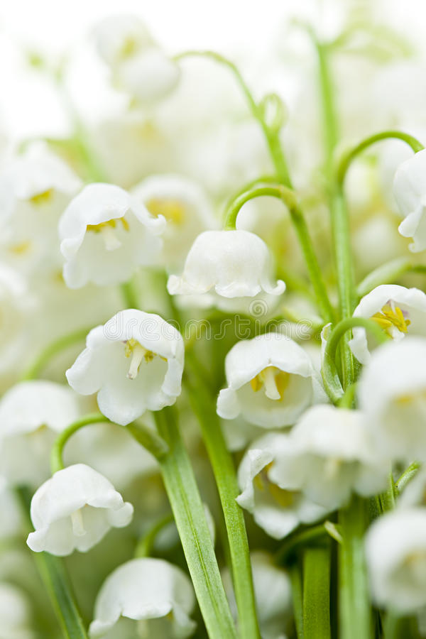 Download Lily-of-the-valley flowers stock photo. Image of leaves - 30898108