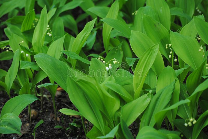 Lily of the valley in the forest stock photo