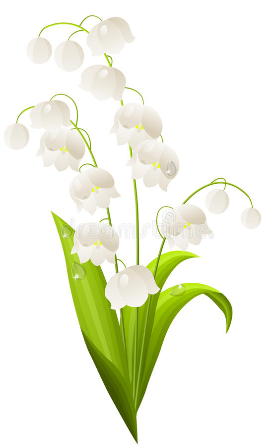 Lily of the valley isolated stock illustration
