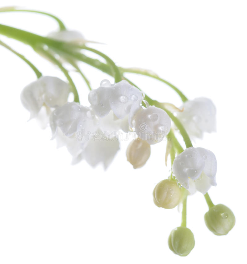 Lily Of The Valley Isolated On White Stock Image