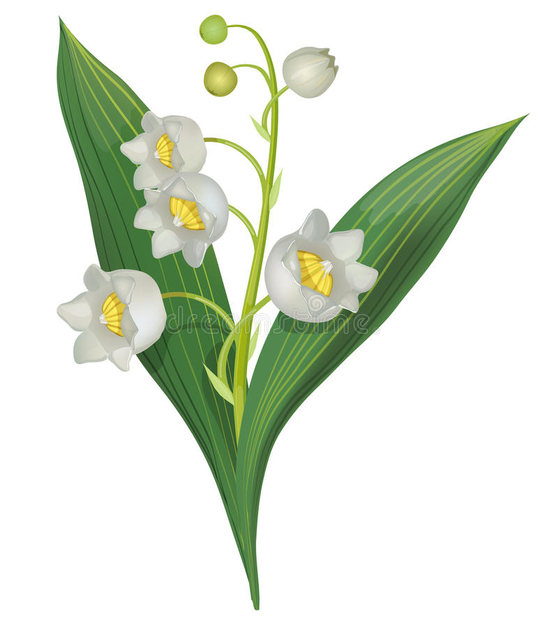 Lily of the valley. Isolated on white background, vector vector illustration