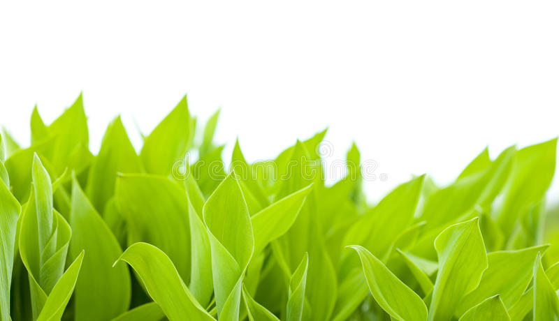 Download Lily of the valley leaves stock photo. Image of petal - 14442578