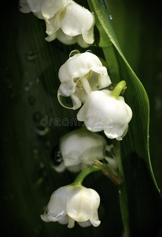 Lily of the Valley Macro. A macro shot of a lily of the valley after morning rain royalty free stock image
