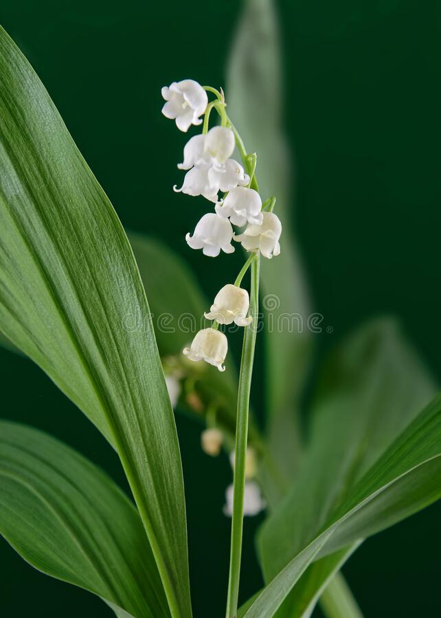 Lily of the valley or May lily hanging from its stem royalty free stock photo