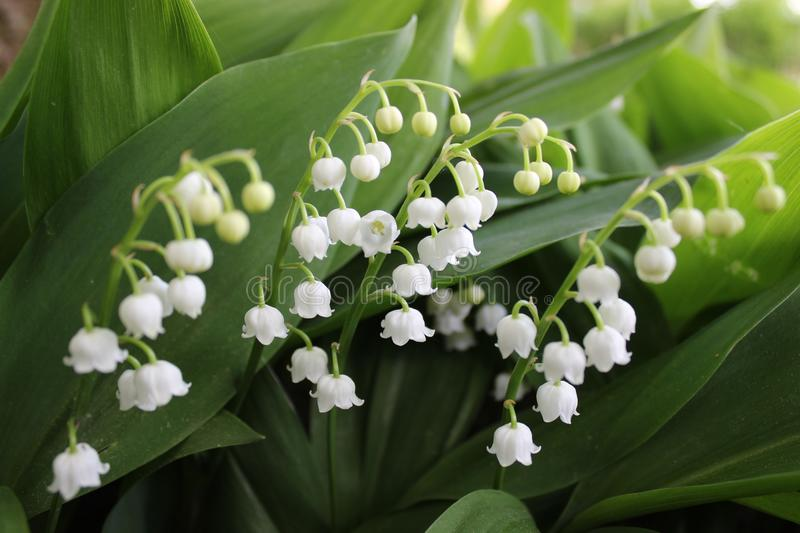 Lily of the valley, a spring flower with white blossoms, sometimes called bells. stock photos